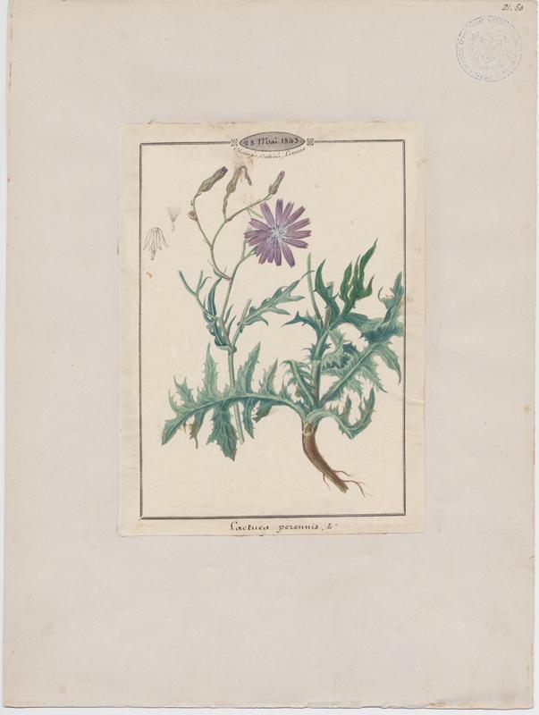 BARLA Jean-Baptiste (attribué à) : Laitue vivace, plante à fleurs