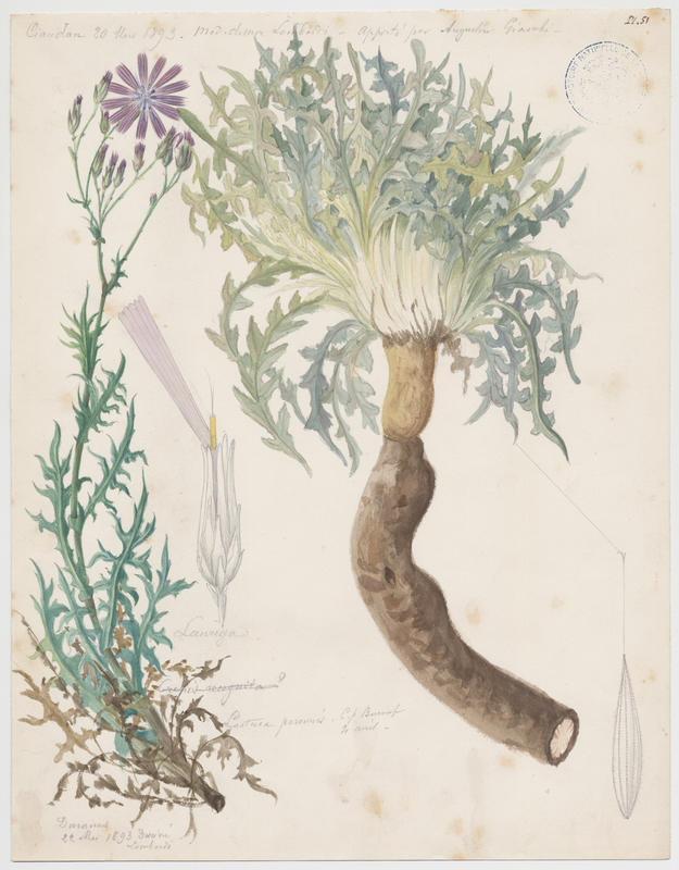 Laitue vivace ; plante à fleurs