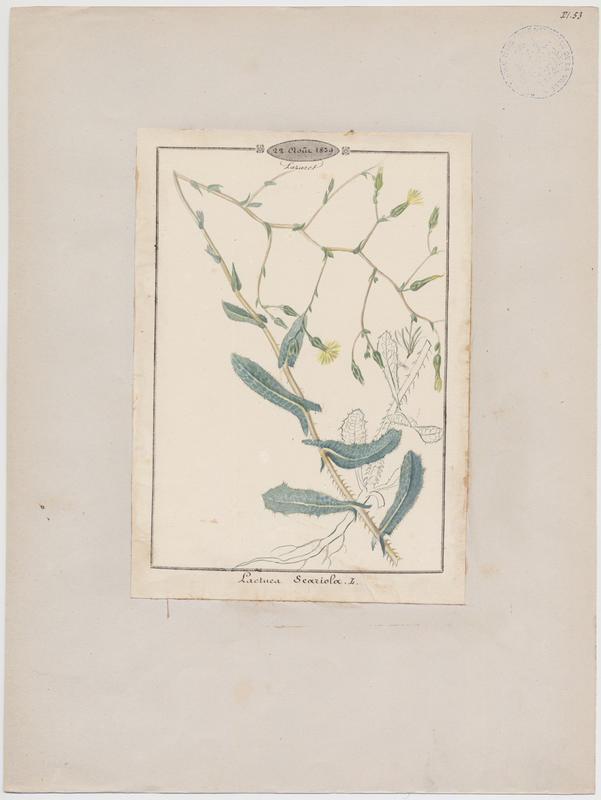 Laitue sauvage ; Laitue scariole ; Escarole ; plante à fleurs_0