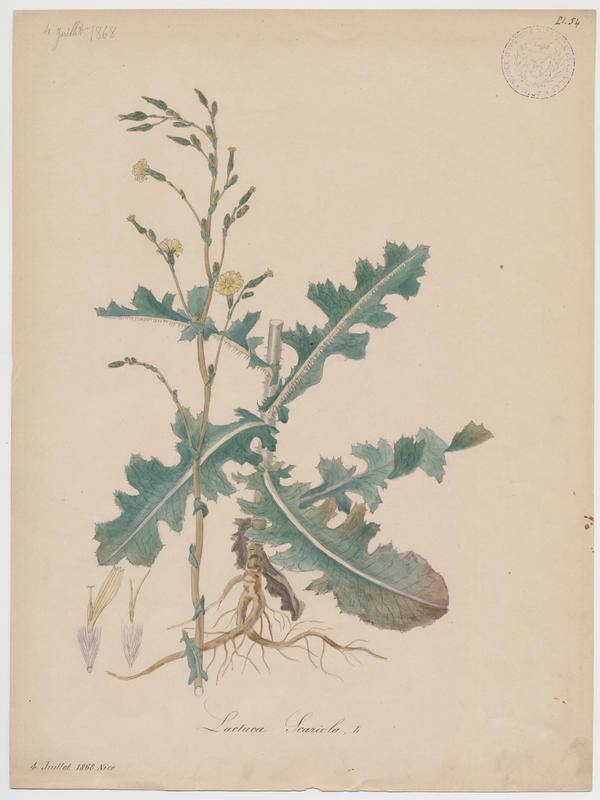 BARLA Jean-Baptiste (attribué à) : Laitue sauvage, Laitue scariole, Escarole, plante à fleurs