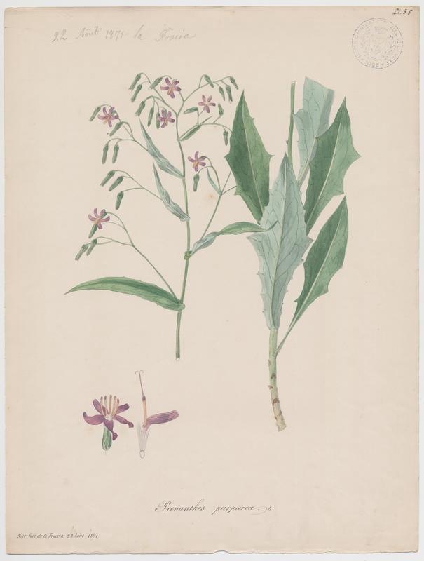 Prénanthe pourpre ; plante à fleurs_0