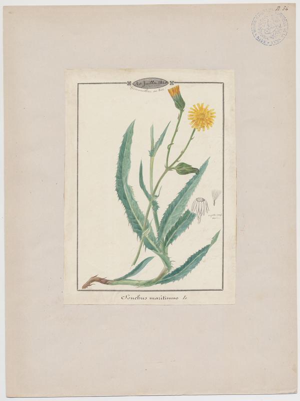 BARLA Jean-Baptiste (attribué à) : Laiteron maritime, plante à fleurs