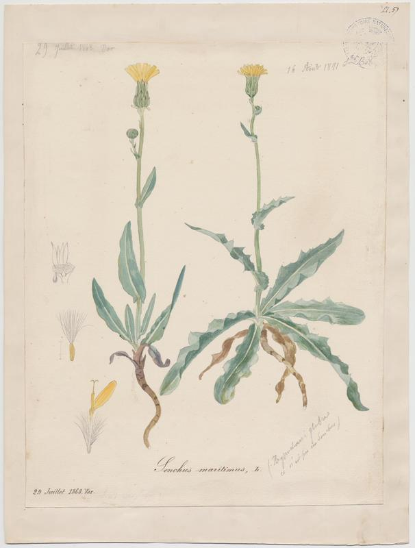 Laiteron maritime ; plante à fleurs_0