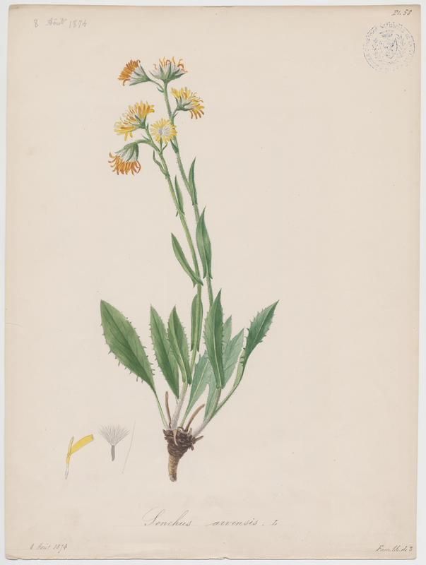 BARLA Jean-Baptiste (attribué à) : Laiteron des champs, plante à fleurs