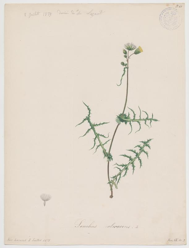 BARLA Jean-Baptiste (attribué à) : Laiteron maraîcher, plante à fleurs