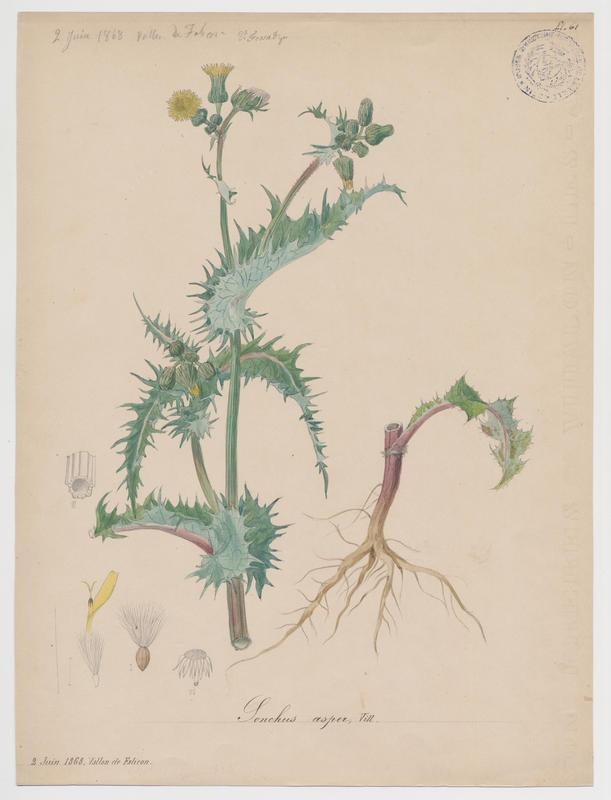 FOSSAT Vincent (aquarelliste, peintre) : Laiteron épineux , plante à fleurs
