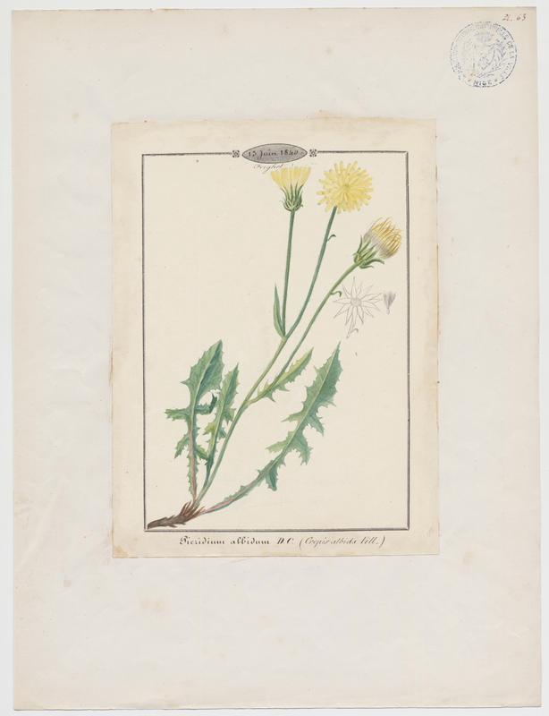 Crepide blanche ; Crépide blanchâtre ; plante à fleurs_0