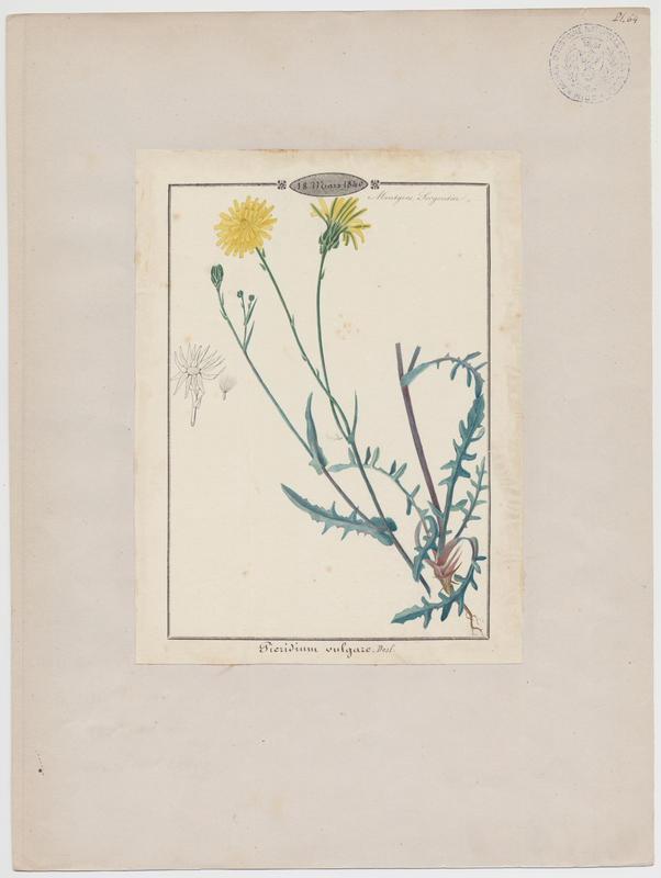 BARLA Jean-Baptiste (attribué à) : Cousteline, plante à fleurs