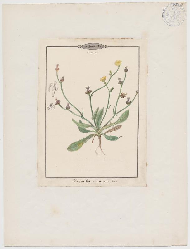BARLA Jean-Baptiste (attribué à) : Crépide de Zante, Crépis de Zante, plante à fleurs