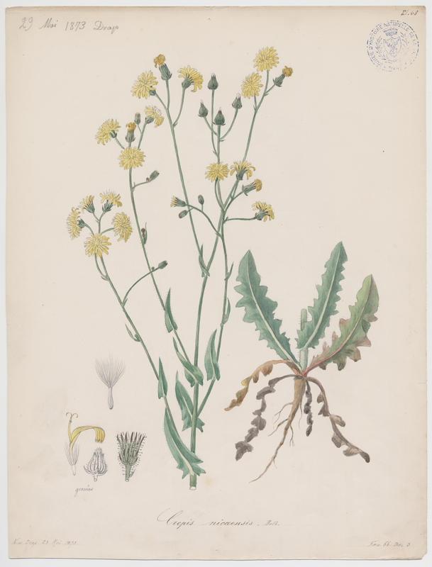 Crépide de Nîmes ; plante à fleurs_0