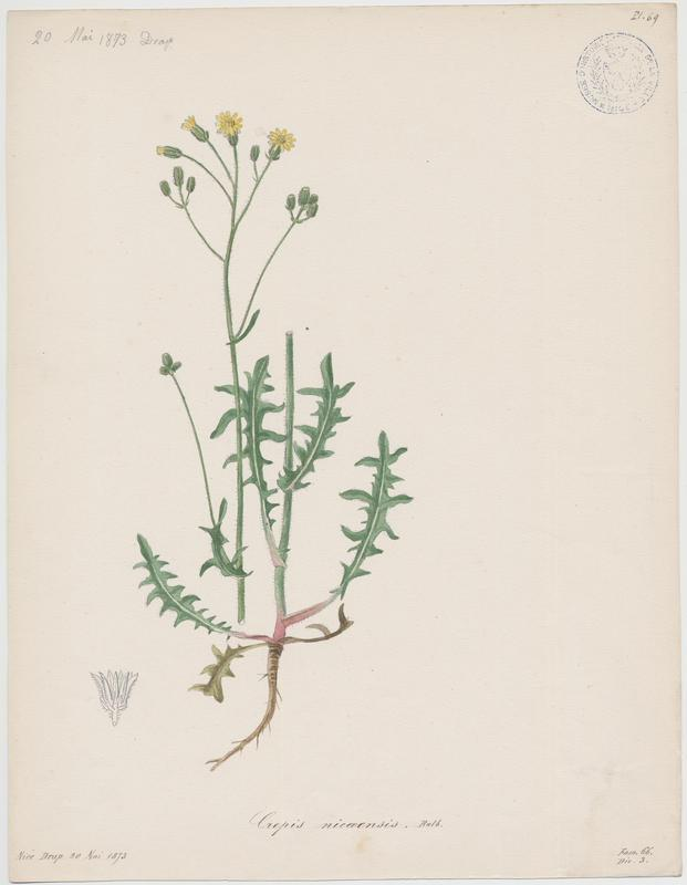 BARLA Jean-Baptiste (attribué à) : Crépide de Nîmes, plante à fleurs