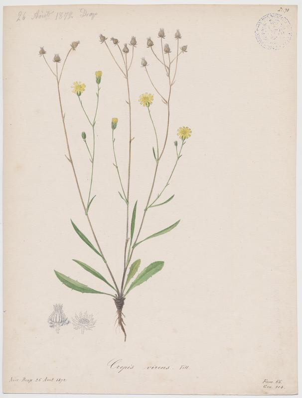 BARLA Jean-Baptiste (attribué à) : Crépide à tiges capillaires, plante à fleurs