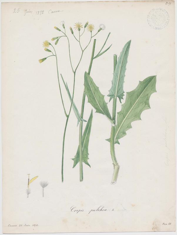 BARLA Jean-Baptiste (attribué à) : Crépide élégante, plante à fleurs