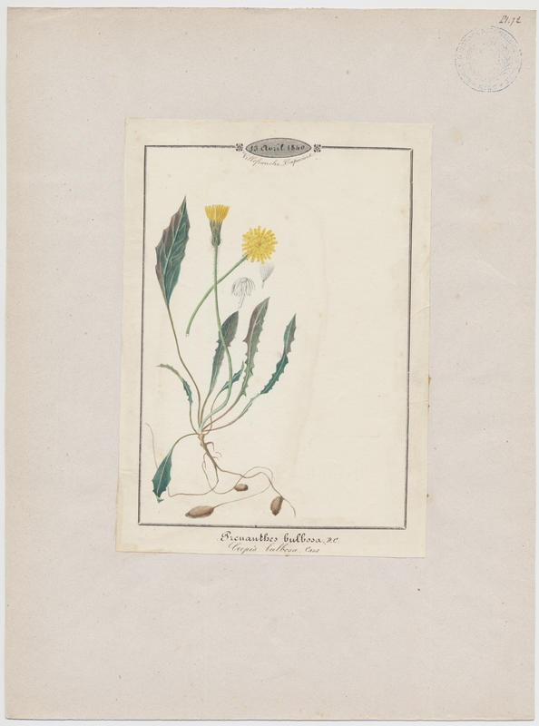 Crépis bulbeux ; plante à fleurs_0