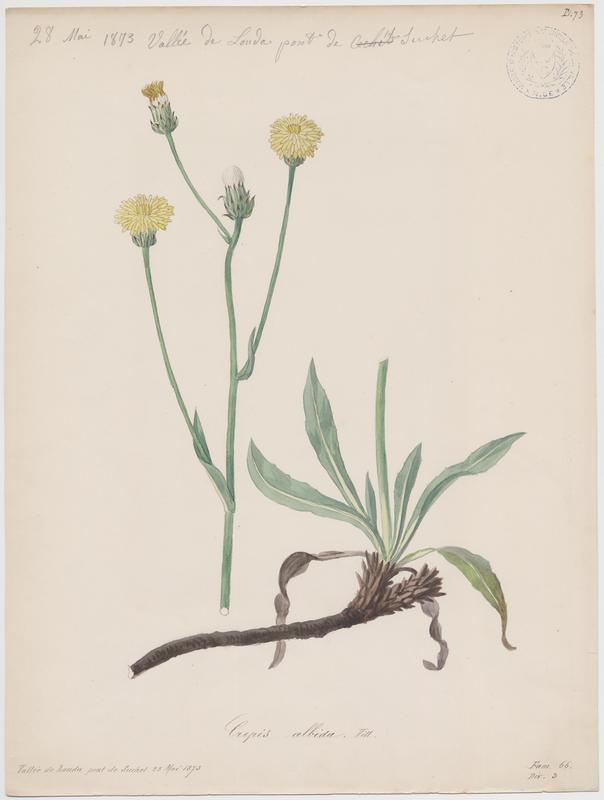 BARLA Jean-Baptiste (attribué à) : Crepide blanche, Crépide blanchâtre, plante à fleurs