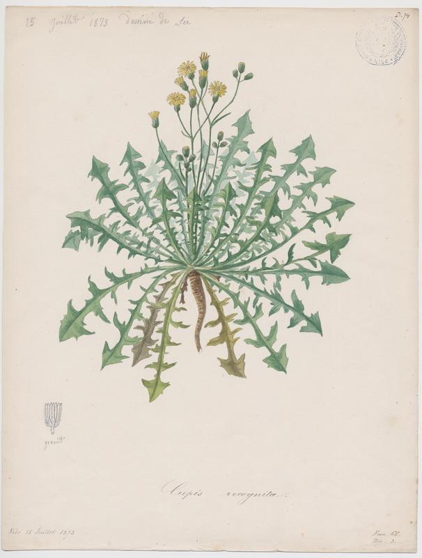 Barkhausie à feuilles de pissenlit ; plante à fleurs_0