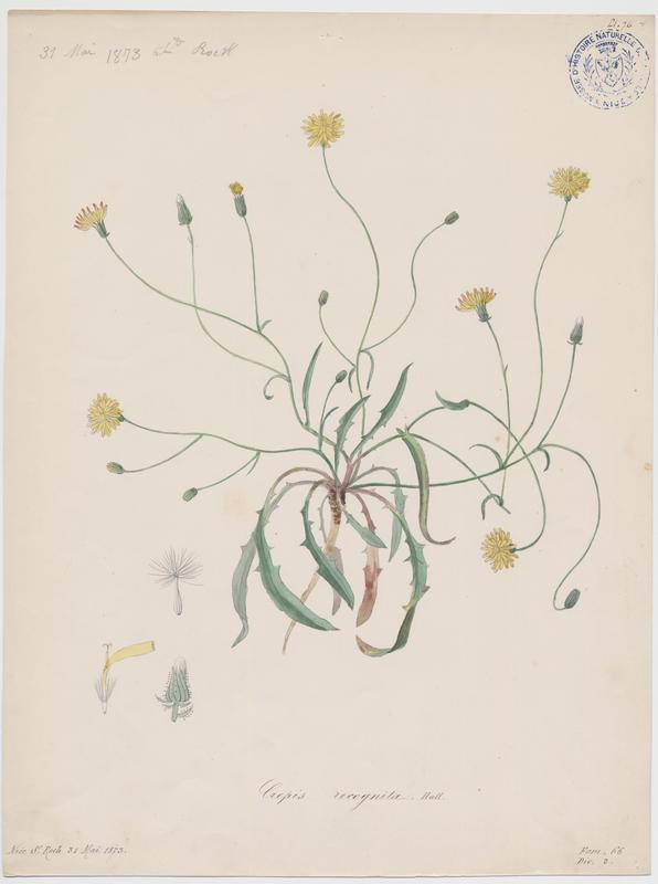 BARLA Jean-Baptiste (attribué à) : Barkhausie à feuilles de pissenlit, plante à fleurs