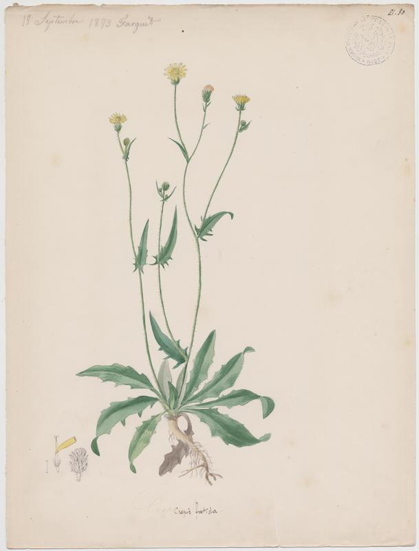 Crépide fétide ; plante à fleurs_0