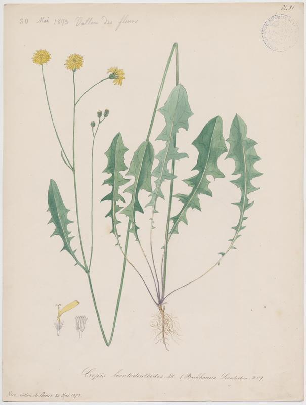 BARLA Jean-Baptiste (attribué à) : Crépide fausse dent de lion, Crépide faux Liondent, plante à fleurs