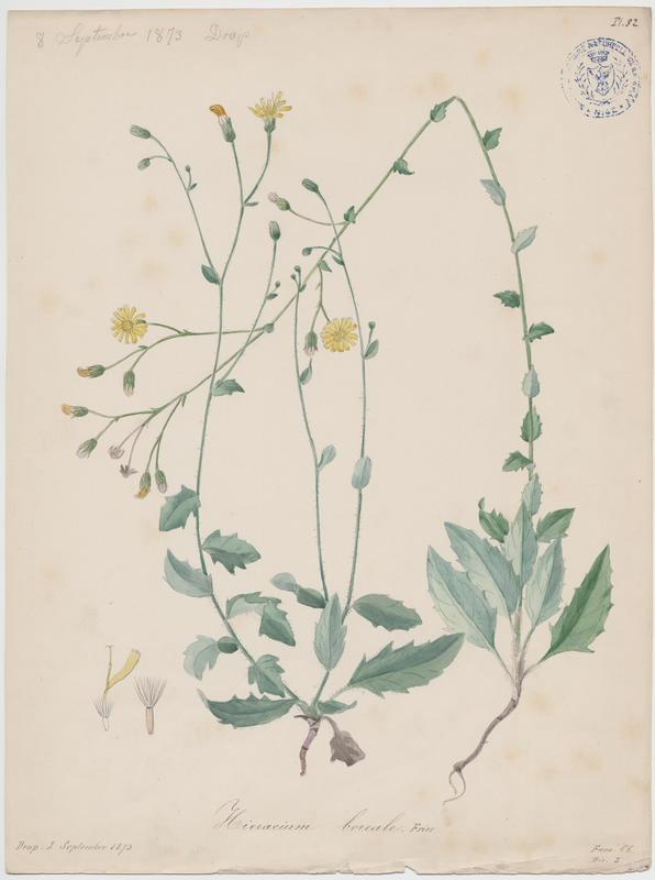 BARLA Jean-Baptiste (attribué à) : Epervière, plante à fleurs