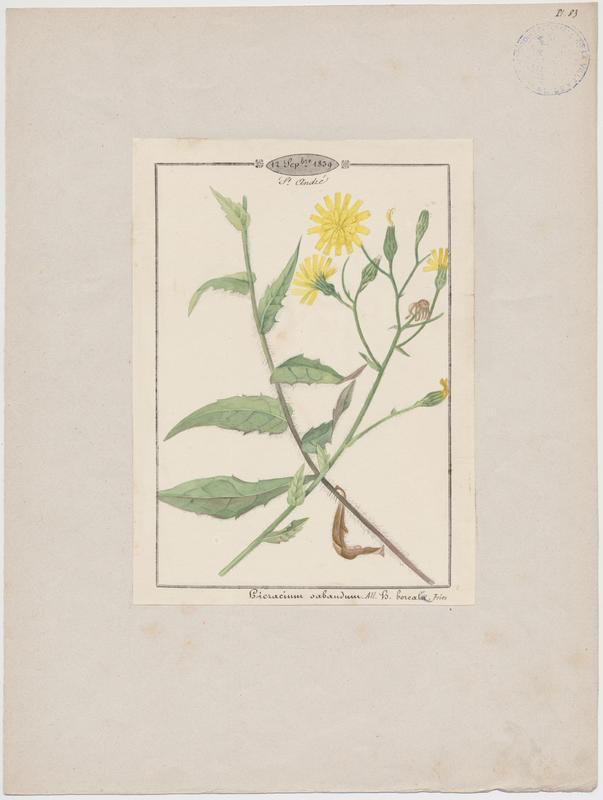 BARLA Jean-Baptiste (attribué à) : Epervière de Savoie, plante à fleurs