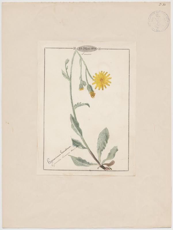 BARLA Jean-Baptiste (attribué à) : Epervière laineuse, plante à fleurs