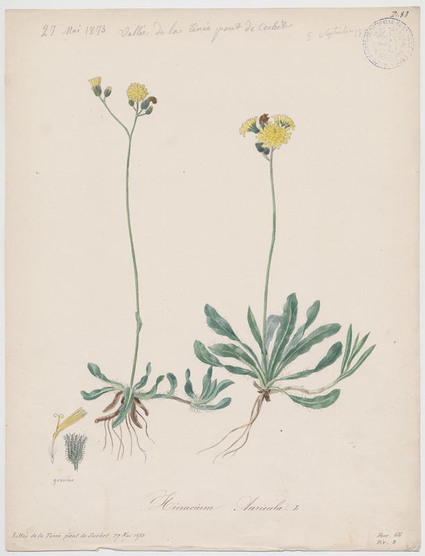 Piloselle auricule ; plante à fleurs_0