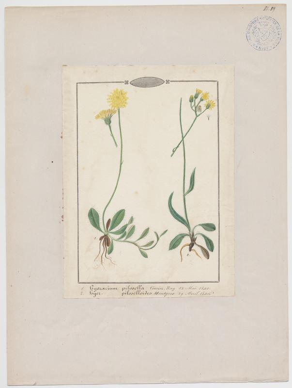 BARLA Jean-Baptiste (attribué à) : Fausse Piloselle, plante à fleurs