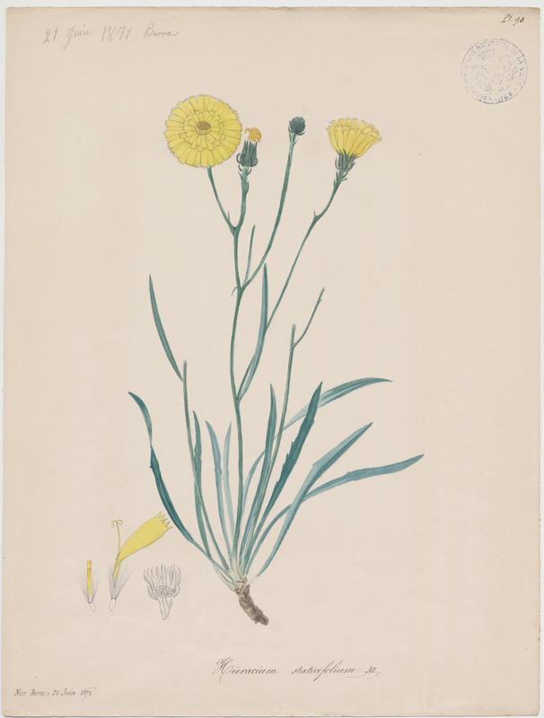 BARLA Jean-Baptiste (attribué à) : Épervière à feuilles de statice, plante à fleurs
