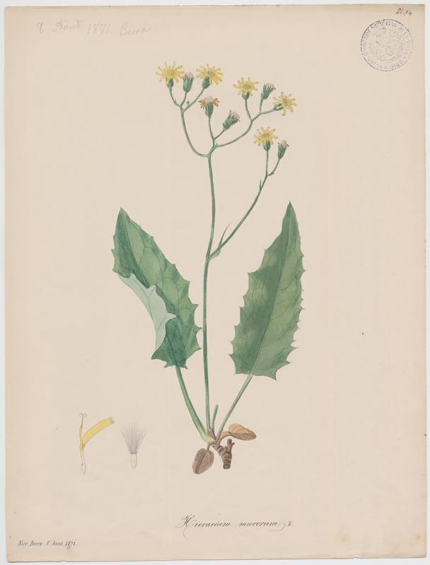 Epervière des bois ; Épervière des murs ; plante à fleurs_0