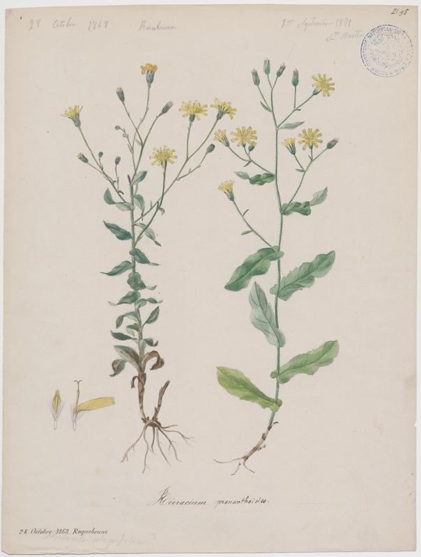 BARLA Jean-Baptiste (attribué à) : Épervière faux prénanthe, plante à fleurs
