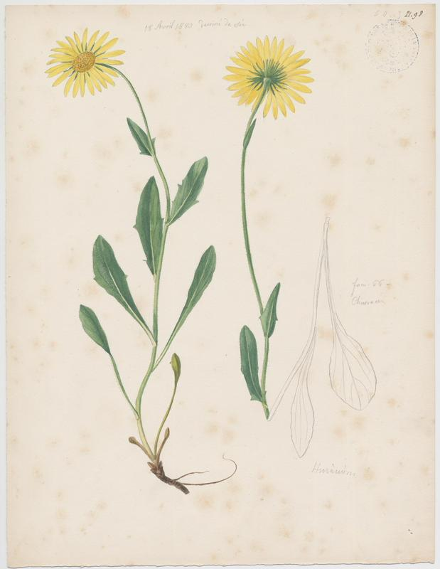 Piloselle ; Epervière ; plante à fleurs_0
