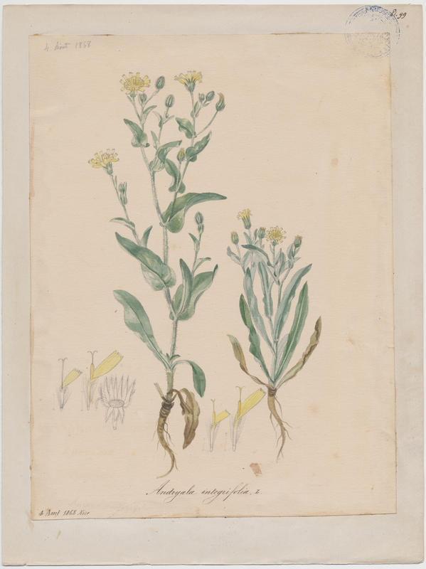 BARLA Jean-Baptiste (attribué à) : Andryale à feuilles entières, plante à fleurs