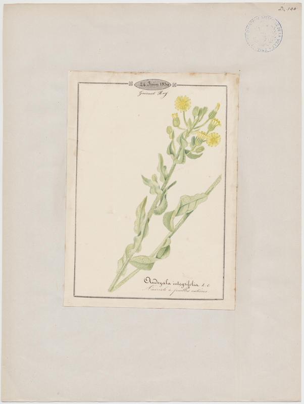 BARLA Jean-Baptiste (attribué à) : Andriale à feuilles entières, plante à fleurs