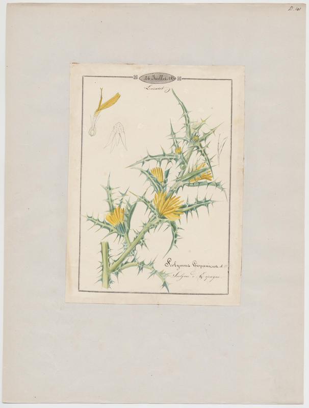 BARLA Jean-Baptiste (attribué à) : Scolyme d'Espagne, plante à fleurs