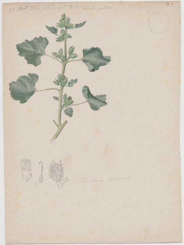 Glouteron ; Lampourde aux écrouelles ; Herbe aux écrouelles ; Lampourde d'Orient ; plante à fleurs_0