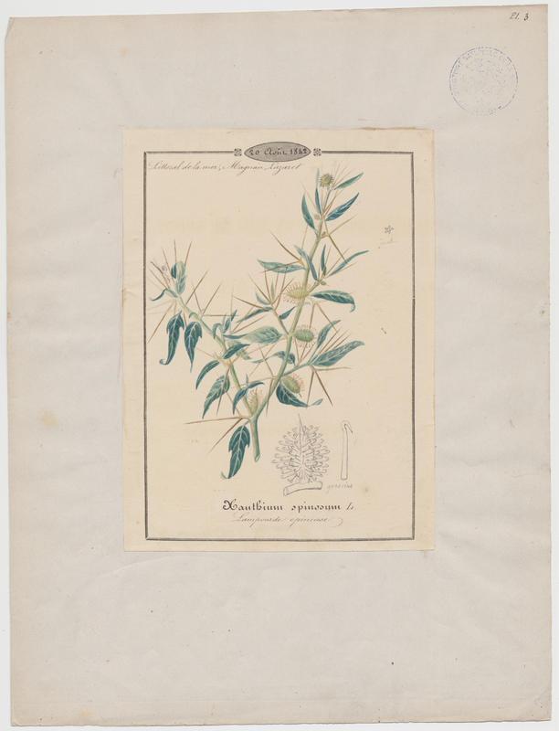 BARLA Jean-Baptiste (attribué à) : Lampourde épineuse, plante à fleurs