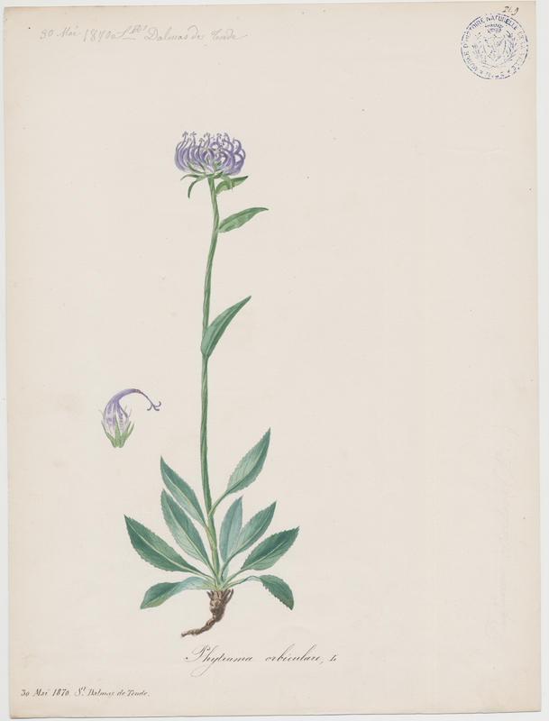 BARLA Jean-Baptiste (attribué à) : Raiponce délicate, Raiponce orbiculaire, plante à fleurs
