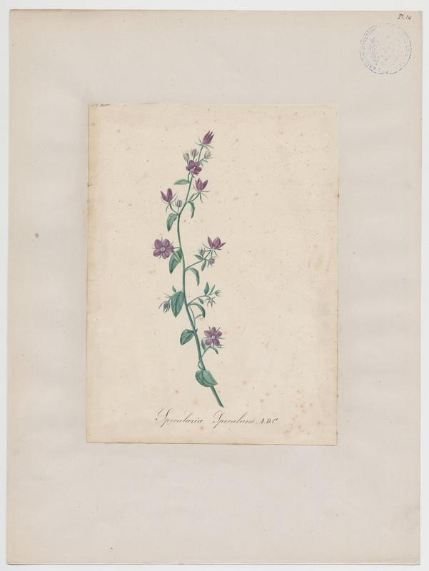BARLA Jean-Baptiste (attribué à) : Miroir de Vénus, plante à fleurs