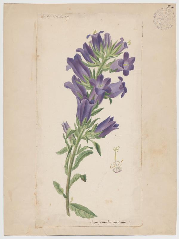 BARLA Jean-Baptiste (attribué à) : Campanule à grandes fleurs, Campanule carillon, Fausse Raiponce, plante à fleurs