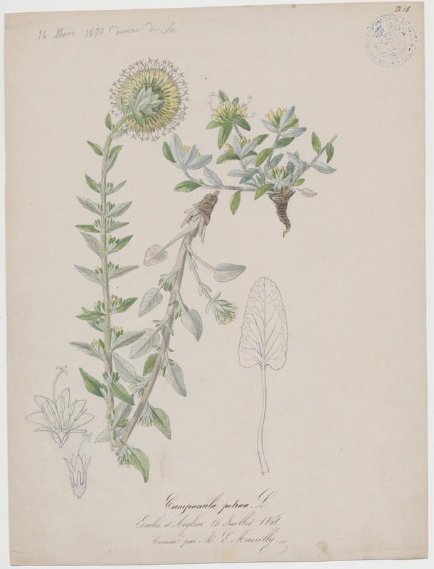 BARLA Jean-Baptiste (attribué à) : Campanule blanchâtre, plante à fleurs