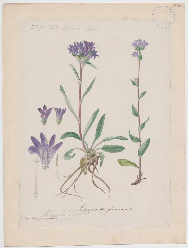 BARLA Jean-Baptiste (attribué à) : Campanule agglomérée, plante à fleurs