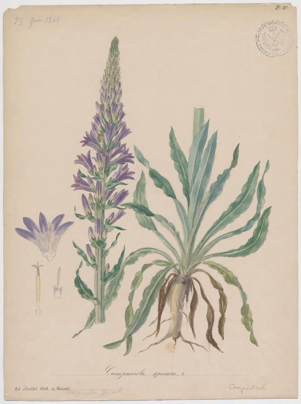 BARLA Jean-Baptiste (attribué à) : Campanule en épi, plante à fleurs