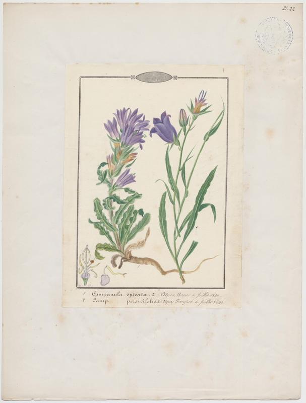 BARLA Jean-Baptiste (attribué à) : Campanule à feuilles de pêcher, plante à fleurs