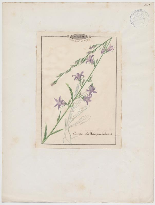 Campanule raiponce ; plante à fleurs_0