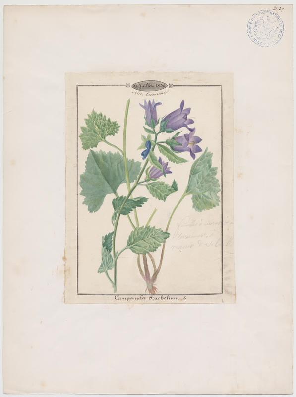 BARLA Jean-Baptiste (attribué à) : Campanule à feuilles d'ortie, plante à fleurs