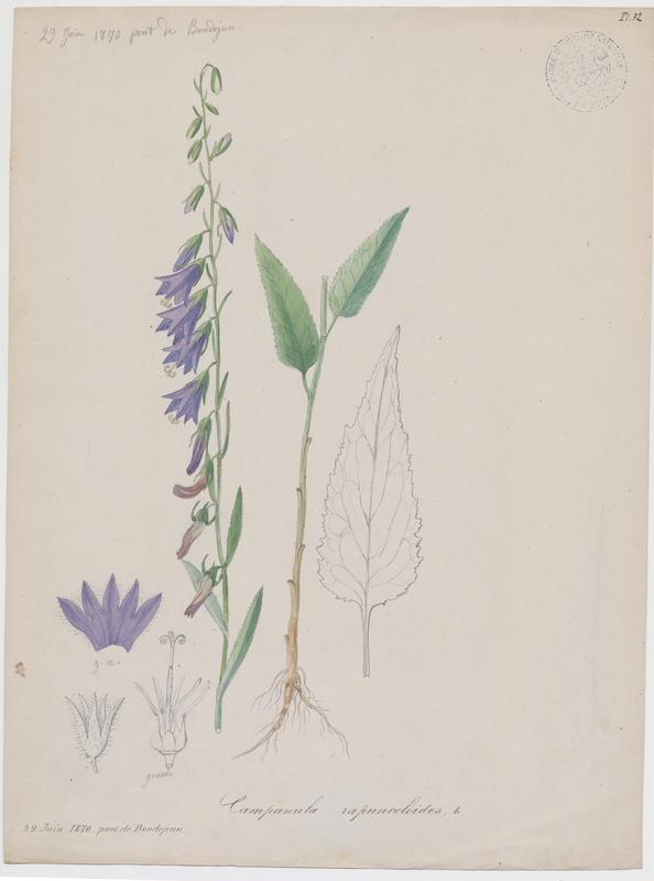 Campanule ; plante à fleurs