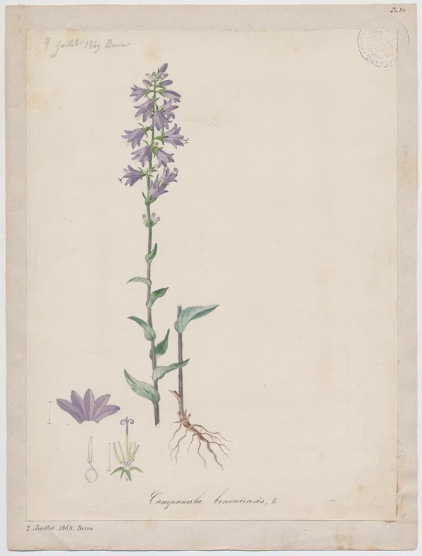 Campanule de Bologne ; plante à fleurs_0