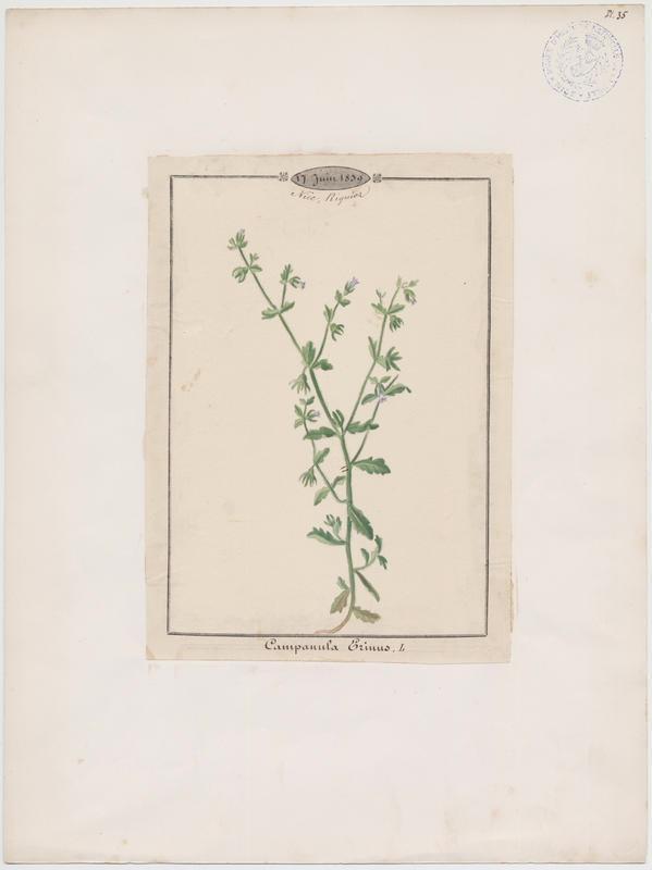BARLA Jean-Baptiste (attribué à) : Campanule à petites fleurs, plante à fleurs