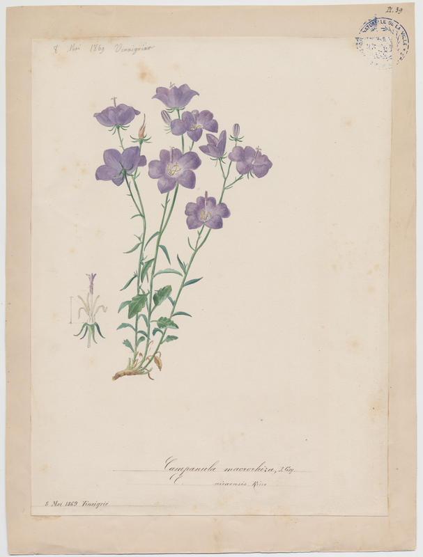 BARLA Jean-Baptiste (attribué à) : Campanule à grosses racines, plante à fleurs